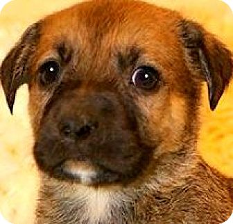 Shepherd (Unknown Type)/Labrador Retriever Mix Puppy for adoption in Wakefield, Rhode Island - ROCKWELL(ADORABLE SHEP/LAB PUP