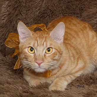 Domestic Shorthair Cat for adoption in Kerrville, Texas - Flea