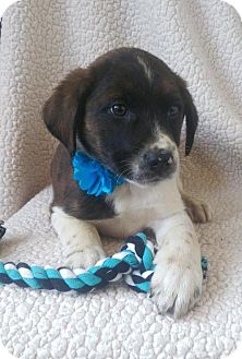 Australian Shepherd/Border Collie Mix Puppy for adoption in Newark, Delaware - Frank