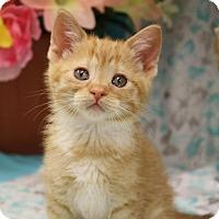 Domestic Shorthair Kitten for adoption in Menominee, Michigan - Nyoko