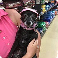 Chihuahua Dog for adoption in West Palm Beach, Florida - Amo-me