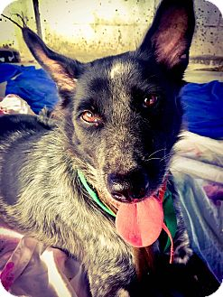 Australian Cattle Dog Mix Dog for adoption in Vancouver, British Columbia - Moom Maem