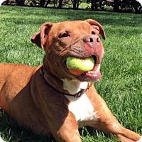 Adopt A Pet :: Boston - Richmond, VA