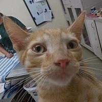 Domestic Shorthair/Domestic Shorthair Mix Cat for adoption in Palm Coast, Florida - Tommy
