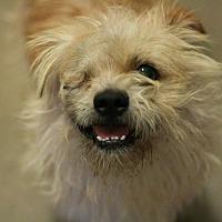 Adopt A Pet :: Brauny - Canoga Park, CA