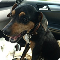 Adopt A Pet :: Scooby - Emory, TX
