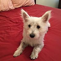 Adopt A Pet :: FiFi - Las Vegas, NV