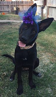 Shepherd (Unknown Type) Dog for adoption in Los Banos, California - Guinnie