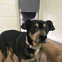 Adopt A Pet :: DOBIE - Phoenix, AZ