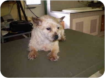 Norwich Terrier Dog for adoption in Westport, Connecticut - Aimee