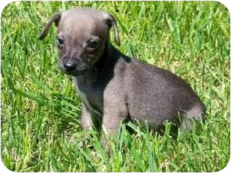 Chihuahua Mix Puppy for adoption in Gallatin, Tennessee - Puppies