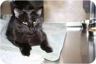 Domestic Longhair Cat for adoption in Westbrook, Maine - Haiden