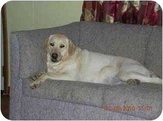 Labrador Retriever Dog for adoption in Rochester, New Hampshire - Rosie