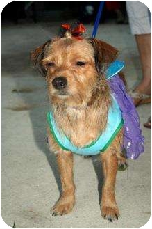 Fox Terrier (Wirehaired) Mix Dog for adoption in Homestead, Florida - Bella Teresa