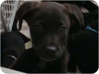 Terrier (Unknown Type, Medium) Mix Puppy for adoption in Phoenix, Arizona - Daruis Rucker