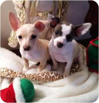 Chihuahua Mix Puppy for adoption in Hammonton, New Jersey - butter