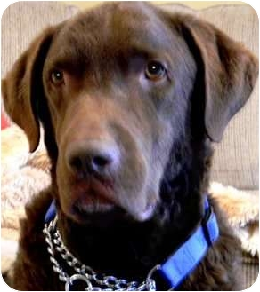 Chesapeake Bay Retriever Dog for adoption in Pawling, New York - WINSTON*IN CT.*AKC-CHESSIE!!