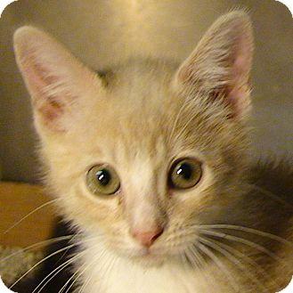 "Domestic Shorthair Kitten for adoption in El Cajon, California - Mitt (short for ""Mittens"")"