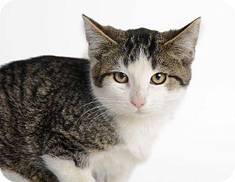 Domestic Shorthair Kitten for adoption in Brownstown, Michigan - Milkshake