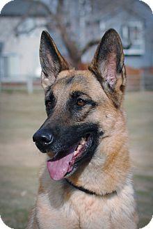 German Shepherd Dog Dog for adoption in Denver, Colorado - Emory