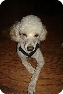 Poodle (Miniature) Dog for adoption in Rochester, Michigan - Oscar