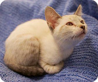 Siamese Kitten for adoption in Houston, Texas - Hannah