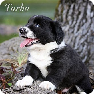 Border Collie/Dachshund Mix Puppy for adoption in Wilmington, Delaware - Turbo