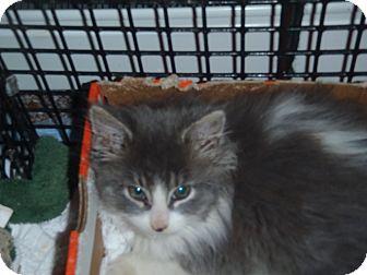 Domestic Longhair Kitten for adoption in Acushnet, Massachusetts - Jordan