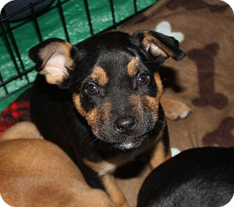Labrador Retriever/Shepherd (Unknown Type) Mix Puppy for adoption in Huntsville, Alabama - Krackle