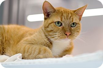 Domestic Shorthair Cat for adoption in Houston, Texas - Oliver