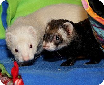Ferret for adoption in Bellingham, Washington - Farrah