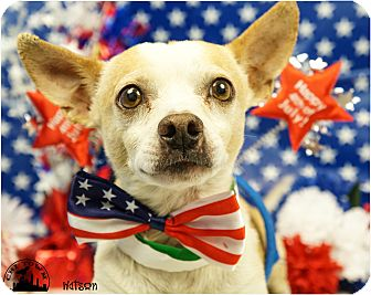 Chihuahua/Terrier (Unknown Type, Small) Mix Dog for adoption in Phoenix, Arizona - Watson