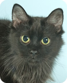 Maine Coon Cat for adoption in Chicago, Illinois - Tiny Tory