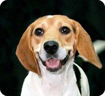 Beagle Dog for adoption in Houston, Texas - Krista