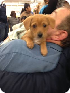 Chihuahua/Terrier (Unknown Type, Small) Mix Puppy for adoption in Milton, New York - Chewy