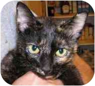 Domestic Shorthair Cat for adoption in Brodheadsville, Pennsylvania - Maddie