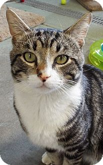 Domestic Shorthair Cat for adoption in Grants Pass, Oregon - Kingsly
