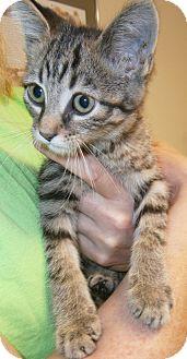 Domestic Longhair Kitten for adoption in Cheboygan, Michigan - Thomas