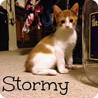 Domestic Shorthair Kitten for adoption in Bentonville, Arkansas - Stormy (Weather)