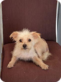 Yorkie, Yorkshire Terrier Mix Dog for adoption in Okeechobee, Florida - Soma