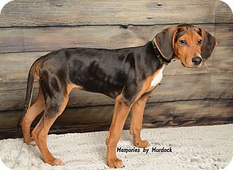 Black and Tan Coonhound/Doberman Pinscher Mix Puppy for adoption in Frankfort, Illinois - Vixen
