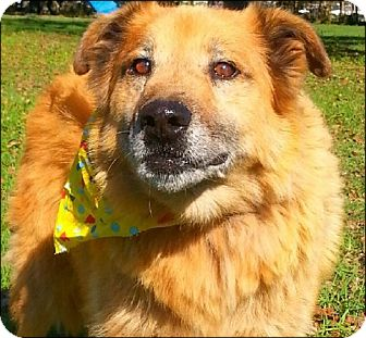 Golden Retriever/Shepherd (Unknown Type) Mix Dog for adoption in Simsbury, Connecticut - Buddy - being fostered in CT