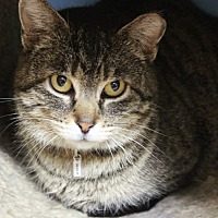 Domestic Shorthair Cat for adoption in New Richmond,, Wisconsin - Boz