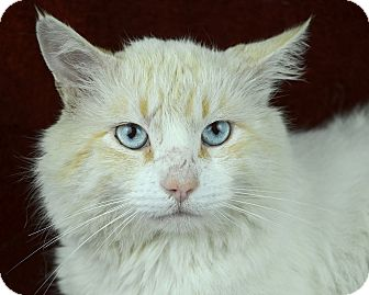 Domestic Mediumhair Cat for adoption in Woodinville, Washington - Mystic