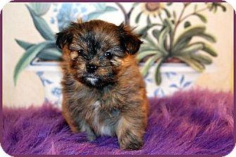 Shih Tzu/Pomeranian Mix Puppy for adoption in Dallas, Texas - London