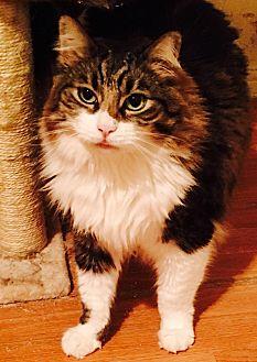 Domestic Longhair Cat for adoption in Los Angeles, California - Meeko