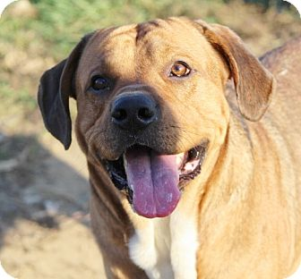 Mastiff/Labrador Retriever Mix Dog for adoption in Liberty Center, Ohio - JoJo