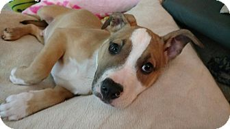 American Staffordshire Terrier Mix Puppy for adoption in Rochester Hills, Michigan - Brooks