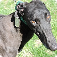 Greyhound Dog for adoption in Canadensis, Pennsylvania - Funky