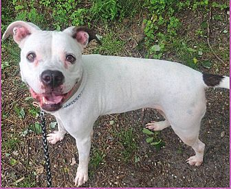 American Bulldog/Boxer Mix Dog for adoption in Tinton Falls, New Jersey - CALLIE